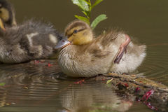 Wild duck (Anas platyrhynchos). Young wild duck on the water Royalty Free Stock Images