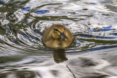 Wild duck (Anas platyrhynchos). Young wild duck on the water Stock Photos