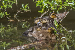 Wild duck (Anas platyrhynchos). Young wild duck on the water Stock Images
