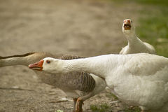 Wild duck. In attack and defensive position in their natural habitat Royalty Free Stock Photos