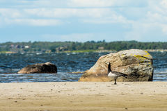Wild duck on beach Stock Photography