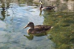 Wild duck Stock Photography