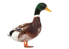 Wild duck bird Stock Images
