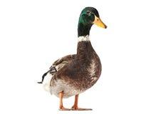 Wild duck bird. Wild duck farm bird isolated on white Royalty Free Stock Photo