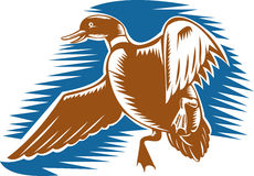 Free Wild Duck Bird Flying Stock Photo - 11162480