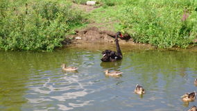Wild Duck and Black swan stock footage