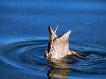 Wild Duck at the bottom of the lake Royalty Free Stock Image