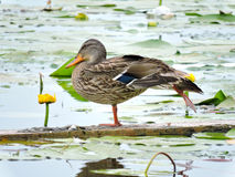 Wild duck on a branch Royalty Free Stock Photos