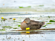 Wild duck on a branch Royalty Free Stock Images