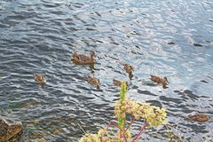 A wild duck with a brood of ducklings. Floating near the lake shore Stock Image
