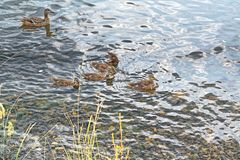 A wild duck with a brood of ducklings. Floating near the lake shore Stock Photos