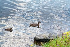 A wild duck with a brood of ducklings. Floating near the lake shore Stock Images