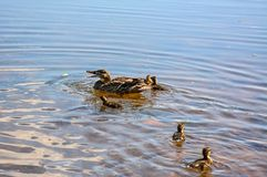 Wild duck with a brood of ducklings on the Neva river in urg. Wild duck with a brood of ducklings on the Neva river in St. Petersburg stock image