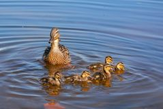 Wild duck with a brood of ducklings on the Neva river in urg. Wild duck with a brood of ducklings on the Neva river in St. Petersburg royalty free stock image