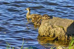 Wild duck with a brood of ducklings on the Neva river in urg. Wild duck with a brood of ducklings on the Neva river in St. Petersburg royalty free stock photography