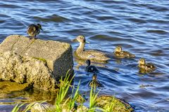 Wild duck with a brood of ducklings on the Neva river in urg. Wild duck with a brood of ducklings on the Neva river in St. Petersburg royalty free stock images