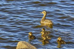 Wild duck with a brood of ducklings on the Neva river in urg. Wild duck with a brood of ducklings on the Neva river in St. Petersburg stock photo