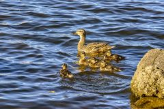 Wild duck with a brood of ducklings on the Neva river in urg. Wild duck with a brood of ducklings on the Neva river in St. Petersburg stock photos