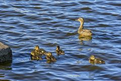 Wild duck with a brood of ducklings on the Neva river in urg. Wild duck with a brood of ducklings on the Neva river in St. Petersburg stock images