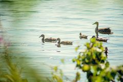 A wild duck with a brood of ducklings swimming along the lake. Floating duck with a brood of ducklings on the water Stock Images