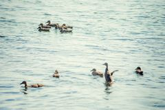 A wild duck with a brood of ducklings swimming along the lake. Floating duck with a brood of ducklings on the water Royalty Free Stock Photos