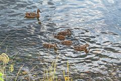 A wild duck with a brood of ducklings. Floating near the lake shore Stock Photography