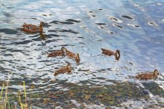 A wild duck with a brood of ducklings. Floating near the lake shore Royalty Free Stock Photo