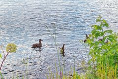 A wild duck with a brood of ducklings. Floating near the lake shore Stock Photo