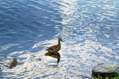A wild duck with a brood of ducklings. Floating near the lake shore Royalty Free Stock Images