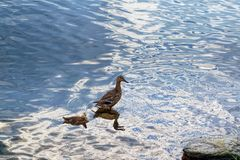 A wild duck with a brood of ducklings. Floating near the lake shore Royalty Free Stock Image