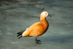 Wild duck called ogar in melted lake surface Stock Image