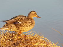 Wild duck Royalty Free Stock Images