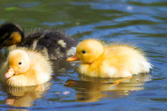 Wild duck chicks. Extremely cute wild ducklings (Anas platyrhynchos) in spring in the Netherlands Royalty Free Stock Images