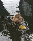 Wild duck with chicks. Female wild duck swimming in the lake with her young chicks Stock Photos