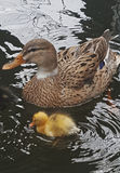 Wild duck with chicks. Female wild duck swimming in the lake with her young chicks Royalty Free Stock Image