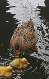 Wild duck with chicks. Female wild duck swimming in the lake with her young chicks Stock Image