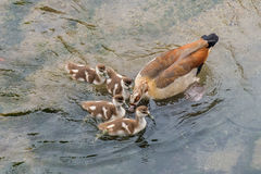 Wild duck with chicks on the river. Image of wild duck with chicks on the river Stock Photography