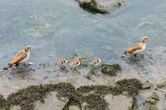 Wild duck with chicks on the river. Image of wild duck with chicks on the river Stock Images
