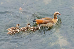 Wild duck with chicks on the river Royalty Free Stock Images
