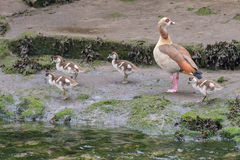 Wild duck with chicks on the river. Image of wild duck with chicks on the river Royalty Free Stock Image