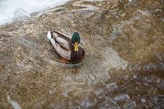 Wild duck in city stream. Wild duck standing in the water of city stream background Stock Images