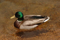 Wild duck in clear water. Wild duck in a crystal water royalty free stock photography