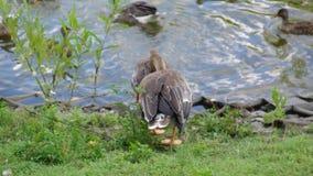 Wild Duck stock video footage