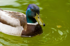 Wild duck. Closeup of beautiful colored wild duck male swimming in lake Royalty Free Stock Photos