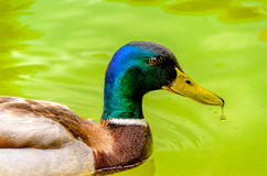 Wild duck. Closeup of beautiful colored wild duck male swimming in lake Royalty Free Stock Images