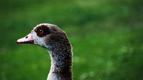 Wild duck closeup Stock Image