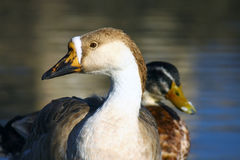 Wild duck couple Stock Image