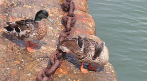 Wild duck couple. Male and female mallard or wild duck (Anas platyrhynchos Stock Photography