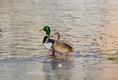 Wild duck couple. Couple of wild duck walking on the lake coast Stock Photos