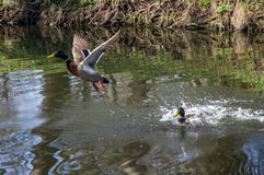 Wild duck and drake. The bird life in the city park stock photography